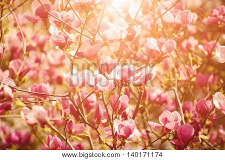 Blossoming of magnolia flowers in spring time, sunny vintage floral background