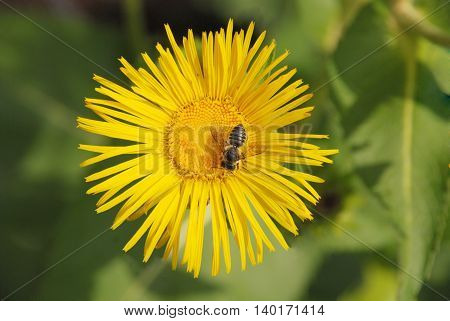 Honey bee covered with yellow pollen drink nectar from yellow flowers and pollinating them