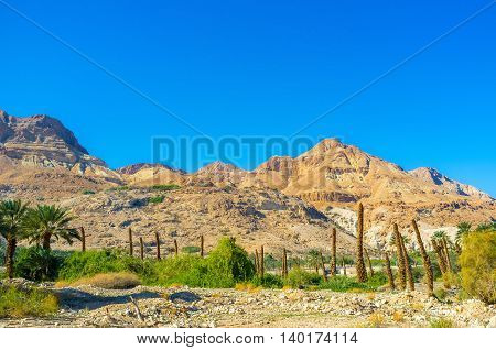 The palm farm at the foot of the rocky mountain of Judean desert Ein Gedi Israel.