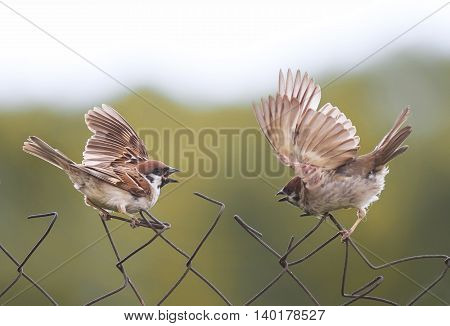 two Sparrow birds flap their wings on the old fence