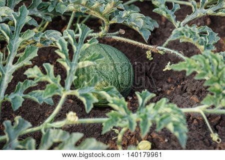 Young small round watermelon lie in the garden bed in fine clear weather morning close-up