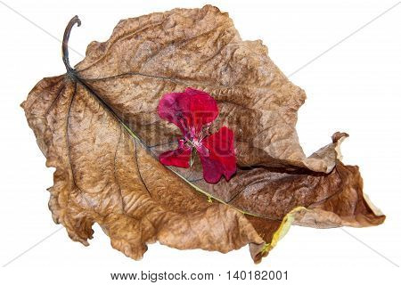 dried up a huge crumpled brown with golden and green-veined leaves of poplar in the form of boats filled with flowers geranium