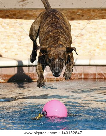Brindle striped dog diving into the pool for a pink ball