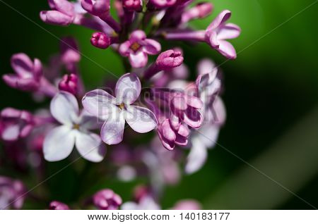 Delicate Lilac Blossoms Blooming in Early Spring