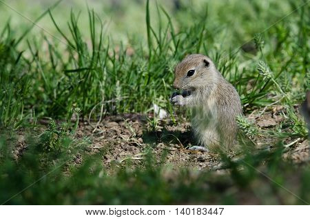 Cute Little Ground Squirrel Enjoying a Snack