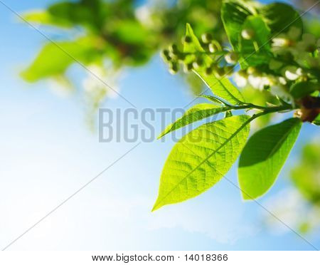 Leaves and blossoms of a bird-cherry tree over blue sky