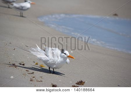 Seagull on Sandy Shore Fluffing His Feathers