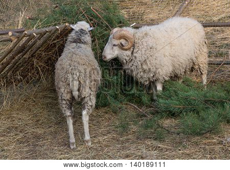 Sheep eat a pine tree in the paddock. Farm animals