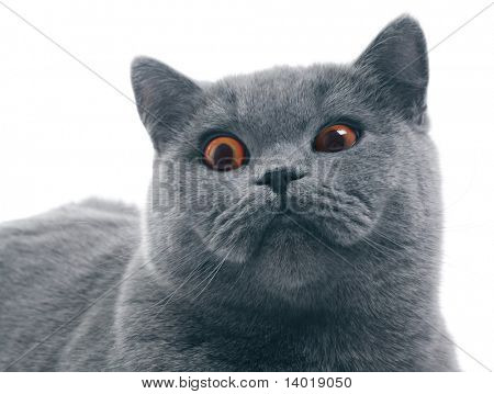 Cat (british blue) with funny squinting eyes isolated over white background