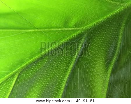 Philodendron (macro Composition)
