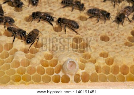 Partially capped Queen cup with Queen Larva in Royal Jelly