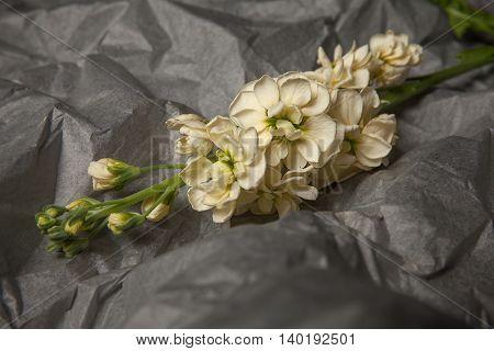 Studio shot of a matthiola flower