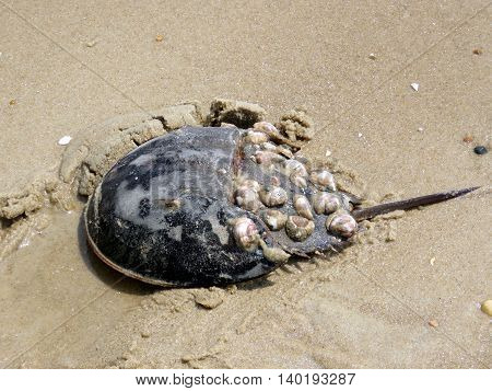 Horseshoe crab on a sand of the South Bethany Beach in South Bethany USA - May 8 2016
