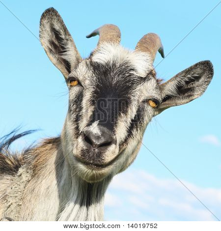 Smiling goat over blue sky background