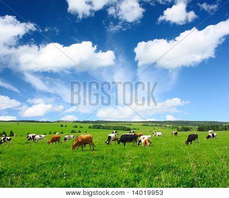 Vacas en el prado verde