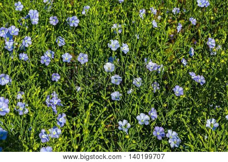 Flowering blue flax field. Beautiful and rich nature of the Crimea.