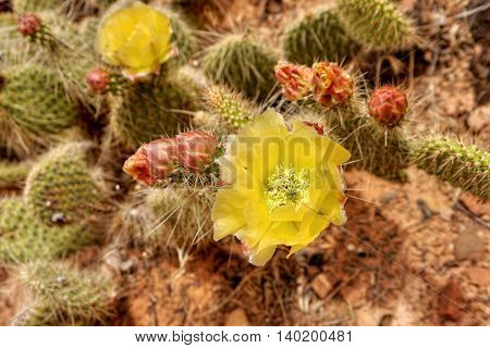 Yellow cactus flower in Arches National Park, Utah