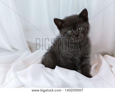 Beautiful little tabby kitten on a window sill. British Shorthair breed.