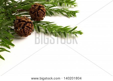 Coast Redwood (Sequoia sempervirens) needles and cones isolated on a white background