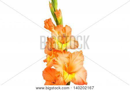 iris flower gladiolus isolated on white background