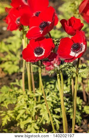 closeup of red poppy anemone flowers in bloom