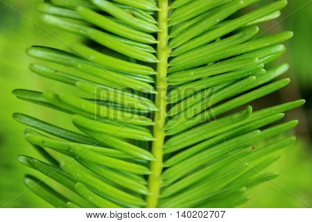 Closeup of grand fir (Abies grandis) needles against a blurred green background