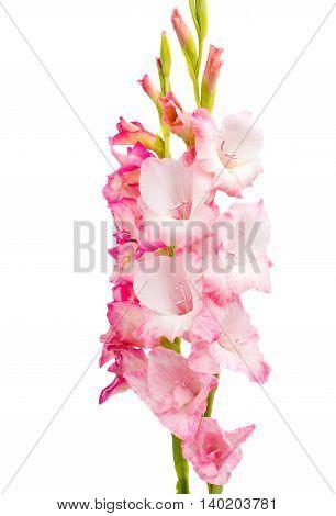 pink gladiolus flower isolated on white background