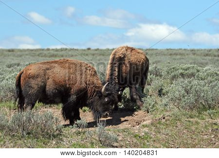 Bison Bulls fighting in Hayden Valley in Yellowstone National Park in Wyoming USA North America