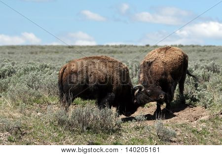 Young Bison Bulls fighting in Hayden Valley in Yellowstone National Park in Wyoming United States