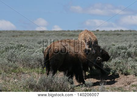 Young Bison Bulls fighting in Hayden Valley in Yellowstone National Park in Wyoming USA
