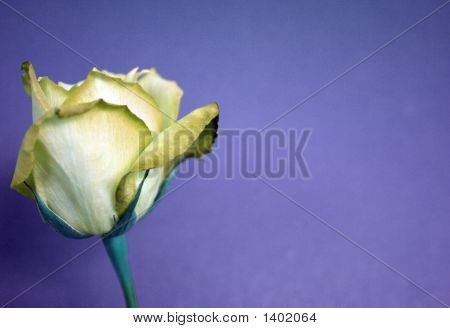 Yellow Rose On Purple Paper Background