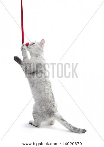 Standing cat holding a red ribbon