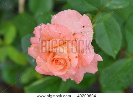 two tone rose blooming in the garden