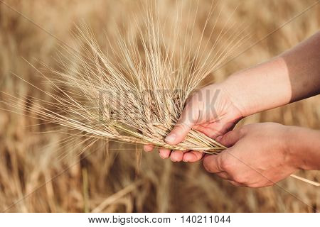 Wheat Ears Barley In The Hand