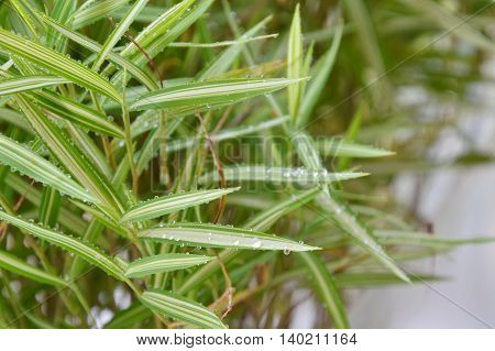 bamboo hedge herb for feeding cat in the park
