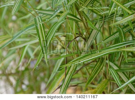 bamboo hedge herb for feeding cat in the garden