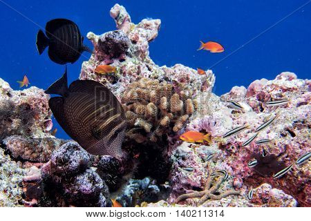 Maldives Corals And Fish Underwater Panorama