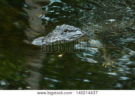 American alligator in the Florida Everglades. FLORIDA