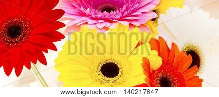 Flowers holiday or birthday panoramic background of colorful gerber close-up
