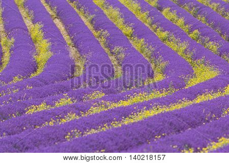 Beautiful landscape of blooming lavender field in Provence, France, Europe.