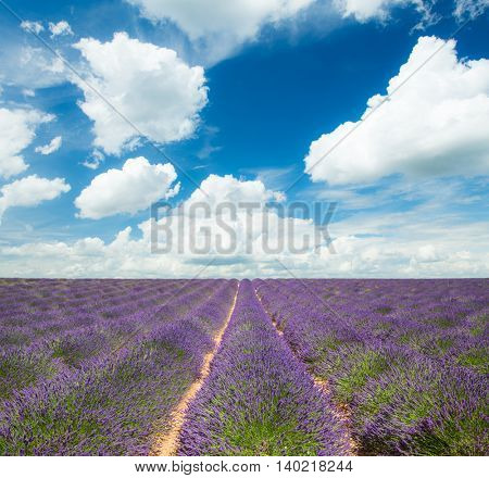 Beautiful landscape of blooming lavender field with sunny sky. Provence, France, Europe.