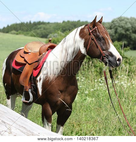 Portait Of Beautiful Paint Horse Stallion