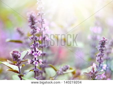 Purple dead nettles in the sun. Wildflowers with copy space and smooth light. Selective focus on the foreground.