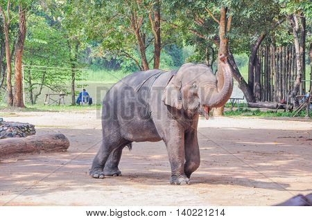 Elephant standing on the log. Elephant training in Thailand.