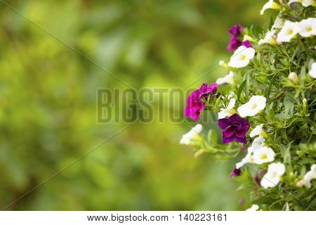 petunias on green blurred background with copy space