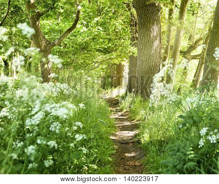 Idyllic forest path with white flowers and smith sunbeams. Nature background, spring forest. Selective focus of a footpath through a mixed forest with flowers next to the path.