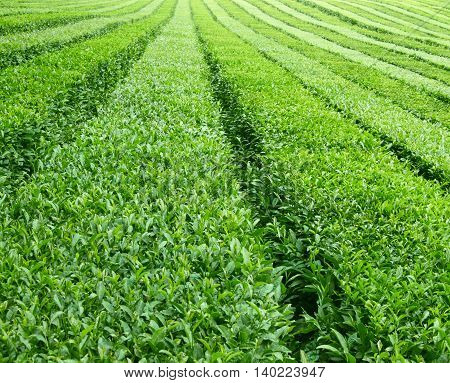 tea plantations in perspective, abstract nature background