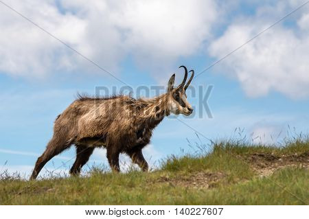 Wild chamois on the mountain grassy ridge against blue sky - National park West Tatras Slovakia Europe