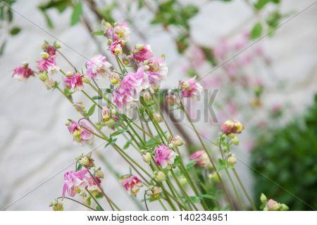 beautiful spring pink flower. closeup