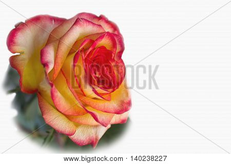 Red with yellow rose on a white background isolated